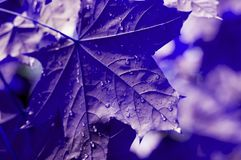Green leaves of the maple tree wet after the rain. Close-up royalty free stock photography