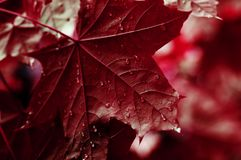 Green leaves of the maple tree wet after the rain. Close-up stock photo