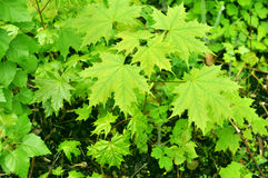 Green leaves of maple Royalty Free Stock Photography