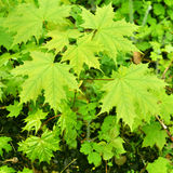 Green leaves of maple Royalty Free Stock Photos