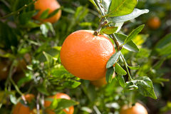 Green leaves and mature oranges on the tree stock images