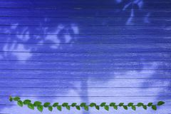Green leaves of Mexican daisy nature border and shadow tree on blue wood. Background, ficus, pumila, tridax, procumbens, abstract, aged, architecture, beauty stock photo