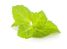 Green leaves of mint Royalty Free Stock Images
