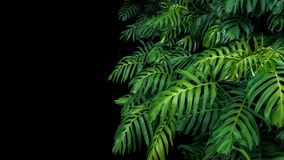 Green leaves of Monstera philodendron plant growing in wild, the royalty free stock images