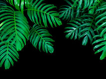 Green leaves of Monstera philodendron plant growing in wild, the Royalty Free Stock Image