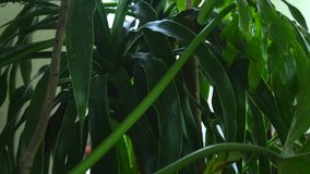 Green leaves of Monstera plant growing in wild, the tropical forest plant, Botanical Garden leaves stock video footage