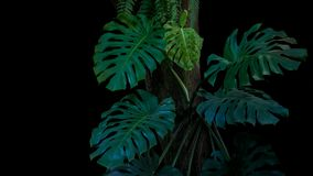 Green leaves of monstera or split-leaf philodendron Monstera de. Liciosa the tropical foliage plant growing in wild climbing on tree trunk on black background Royalty Free Stock Image