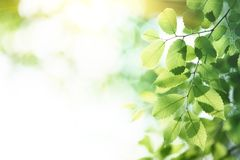 Green leaves in morning Royalty Free Stock Images