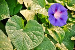 Green leaves and morning glory, ipomea purpurea open flower. Stock Image