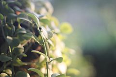 Green leaves and morning ray of light as nature background Stock Image