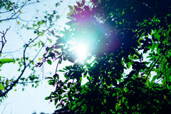 Green leaves in the morning sun. Royalty Free Stock Photography