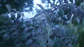 Green leaves of a mountain ash on a branch in the snow, slow motion stock video