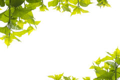 Green leaves mulberry two conner Royalty Free Stock Photo