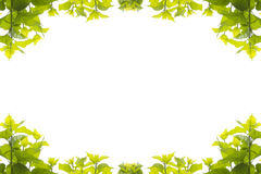 Green leaves mulberry Stock Image