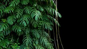 Green leaves of native Monstera Epipremnum pinnatum liana plan. T growing in wild climbing on jungle tree trunk, the tropical forest plant evergreen vines bush royalty free stock photo