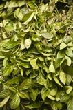 Green leaves for natural indigo dye Stock Photos