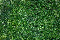 Green leaves natural wall. Royalty Free Stock Images