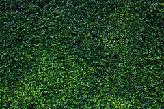 Green leaves natural wall. Stock Photography