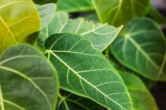 Green leaves are naturally beautiful stock photography