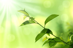 Green Leaves.Nature background Royalty Free Stock Photo