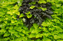 Green leaves nature background Royalty Free Stock Images