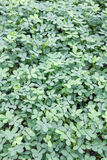 Green leaves nature backgrounds, Small Nature Green Leaves round Royalty Free Stock Images