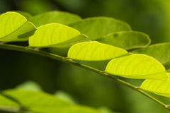 Green leaves - nature motive Stock Photos