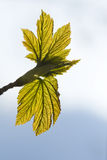 Green leaves - nature motive Royalty Free Stock Photo