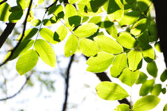 Green Leaves #1 Royalty Free Stock Images