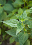 Green leaves of a nettle Royalty Free Stock Photos