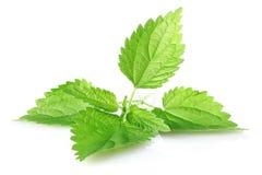 Green leaves of nettle. On white background stock photo