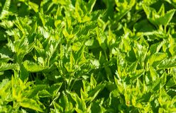 Green leaves on nettle in spring.  royalty free stock photos