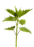 Green leaves of nettle on a white background Royalty Free Stock Image