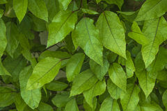 Green leaves. Nice fresh looking green leaves Royalty Free Stock Images