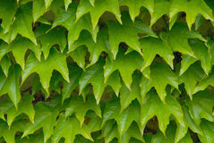 Green leaves o Royalty Free Stock Photos