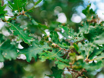 Green leaves of oak and acorns Royalty Free Stock Photography
