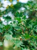 Green leaves of oak and acorns Stock Photo