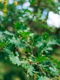 Green leaves of oak and acorns Stock Image