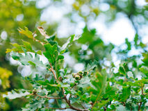 Green leaves of oak and acorns Royalty Free Stock Image