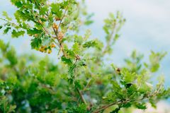 Green leaves of oak and acorns on tree of oak. Stock Photography