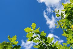 Green leaves of oak against bright blue sky Royalty Free Stock Images