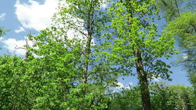 Green leaves of oak and beech tree in springtime. camera pan to the top of tree. stock video