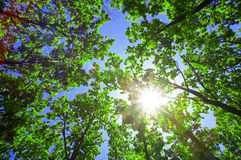 Green leaves of oak and sun. On blue sky Stock Images