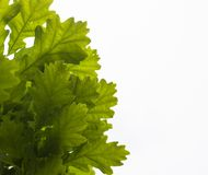 Green leaves of the oak tree against the white sky background Royalty Free Stock Photography