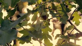 Green leaves of an oak tree on a background of yellow sunset. In an autumn forest stock video footage