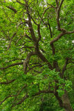 Green leaves of oak tree Stock Image