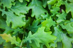 Green leaves of the oak tree Stock Photography