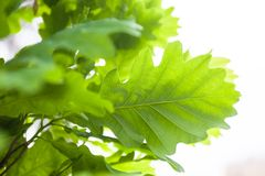 Green leaves of the oak tree in the sunshine Royalty Free Stock Photography