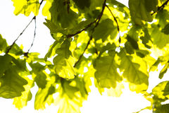 Green leaves of the oak tree in the sunshine Stock Photo
