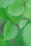 Green Leaves Of A Raspberry Royalty Free Stock Images